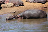 Hippo_Mara_Reserve_Asilia__0269