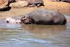Hippo_Mara_Reserve_Asilia__0338