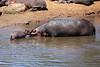 Hippo_Mara_Reserve_Asilia__0272