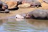 Hippo_Mara_Reserve_Asilia__0327