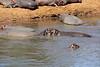 Hippo_Mara_Reserve_Asilia__0252