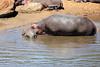 Hippo_Mara_Reserve_Asilia__0280