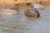 Hippo_Mara_Reserve_Asilia__0227