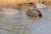 Hippo_Mara_Reserve_Asilia__0229