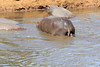 Hippo_Mara_Reserve_Asilia__0223