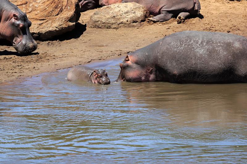 Hippo_Mara_Reserve_Asilia__0353