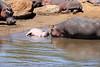 Hippo_Mara_Reserve_Asilia__0332