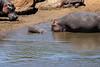Hippo_Mara_Reserve_Asilia__0349