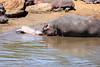 Hippo_Mara_Reserve_Asilia__0337