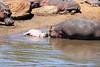 Hippo_Mara_Reserve_Asilia__0333