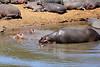 Hippo_Mara_Reserve_Asilia__0256