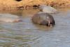 Hippo_Mara_Reserve_Asilia__0226