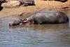 Hippo_Mara_Reserve_Asilia__0271