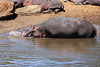 Hippo_Mara_Reserve_Asilia__0342