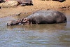 Hippo_Mara_Reserve_Asilia__0277
