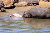 Hippo_Mara_Reserve_Asilia__0335