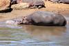 Hippo_Mara_Reserve_Asilia__0326