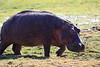 Hippo_Amboseli_Elewana__0015