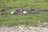 Hippo_Amboseli_Elewana__0012