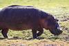 Hippo_Amboseli_Elewana__0017