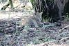 Leopard_Mara_Reserve_Asilia__0018