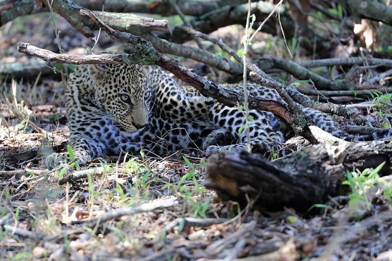 Leopard_Mara_Reserve_Asilia__0009