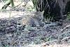 Leopard_Mara_Reserve_Asilia__0019