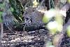 Leopard_Mara_Reserve_Asilia__0003