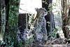 Leopard_Mara_Reserve_Asilia__0012