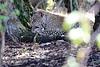 Leopard_Mara_Reserve_Asilia__0001