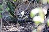 Leopard_Mara_Reserve_Asilia__0006