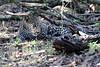 Leopard_Mara_Reserve_Asilia__0011