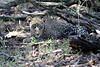 Leopard_Mara_Reserve_Asilia__0007