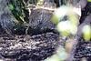 Leopard_Mara_Reserve_Asilia__0005