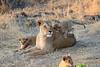 Lion_Cubs_Mara_North_Elewana__0003