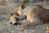 Lion_Cubs_Mara_North_Elewana__0029