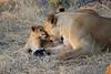 Lion_Cubs_Mara_North_Elewana__0031