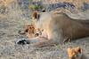 Lion_Cubs_Mara_North_Elewana__0018