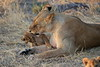 Lion_Cubs_Mara_North_Elewana__0025