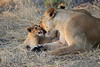 Lion_Cubs_Mara_North_Elewana__0028