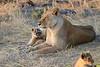 Lion_Cubs_Mara_North_Elewana__0015
