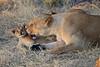 Lion_Cubs_Mara_North_Elewana__0033