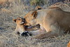 Lion_Cubs_Mara_North_Elewana__0032