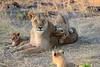 Lion_Cubs_Mara_North_Elewana__0012