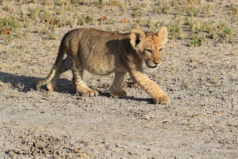 Lion_Cubs_Amboseli_Elewana__0059