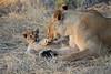 Lion_Cubs_Mara_North_Elewana__0035