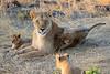 Lion_Cubs_Mara_North_Elewana__0014