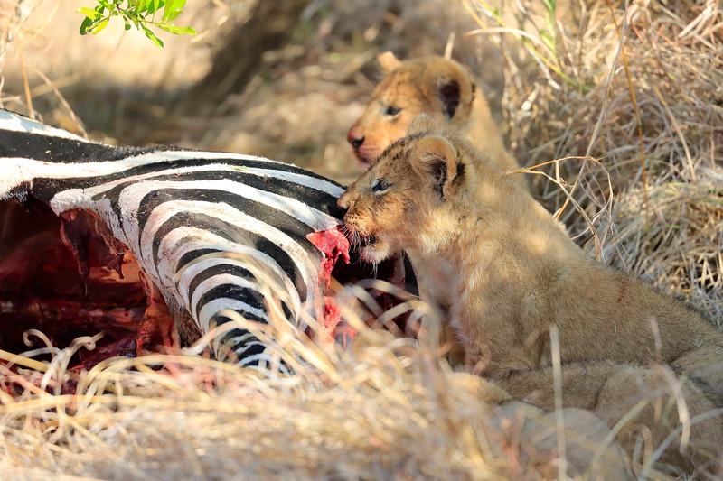 Lion_Cubs_Mara_North_Elewana__0871