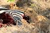 Lion_Cubs_Mara_North_Elewana__0905