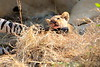 Lion_Cubs_Mara_North_Elewana__0927